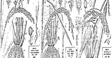 Các GIỐNG LÚA trồng ở VIỆT NAM từ thời NGUYÊN THỦY đến HIỆN ĐẠI (Phần 2)